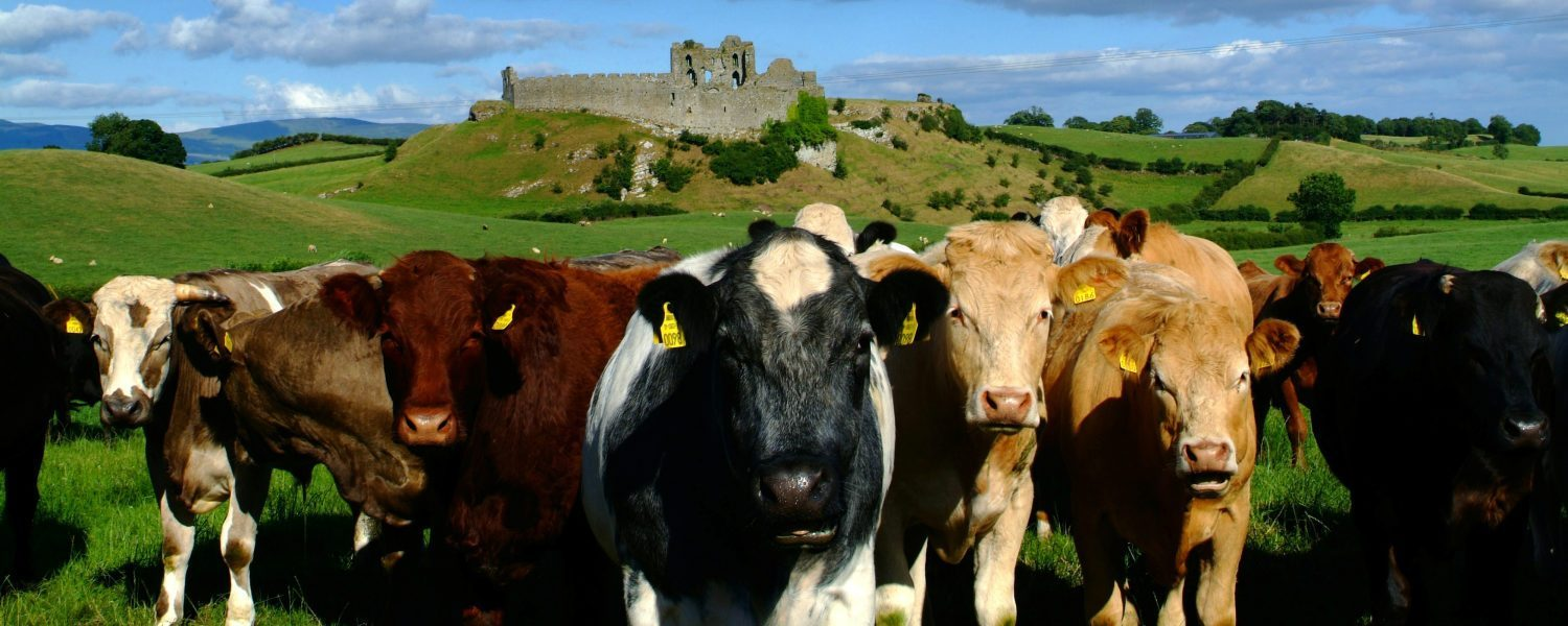 Beef Cattle in front of a ruined castle in Ireland