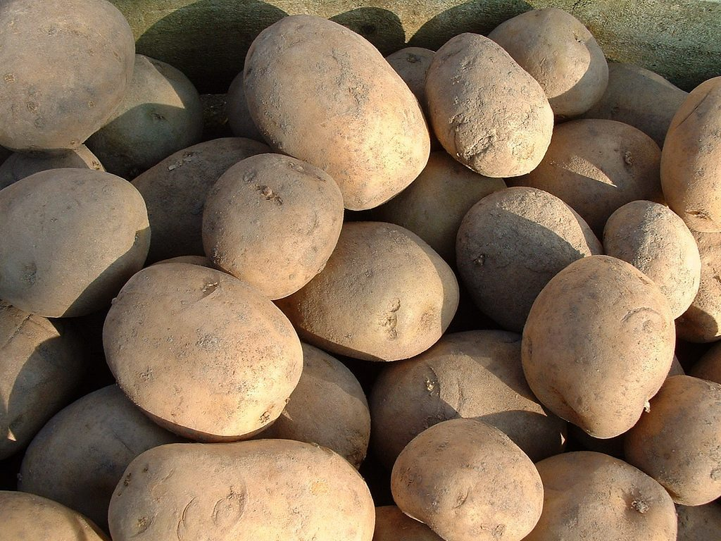 Irish Red Rooster Potatoes, which you could see growing as part of a horticultural tour of Ireland.
