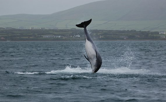 Fungie the dolphin off the coast of co.kerry, ireland.