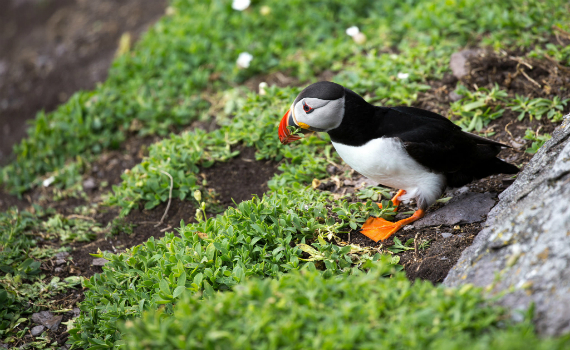 Puffin resting on the cliffs of moher, co.clare