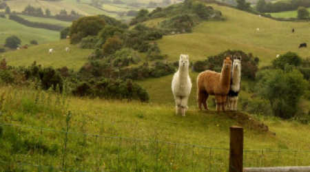 West Cork Alpacas, West Cork, Co. Cork