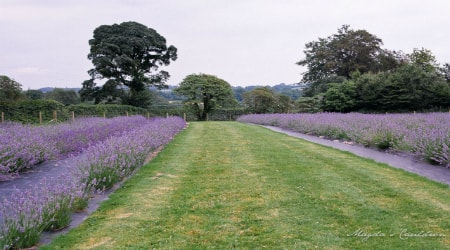 Wexford Lavender Farm, Gorey, Co Wexford