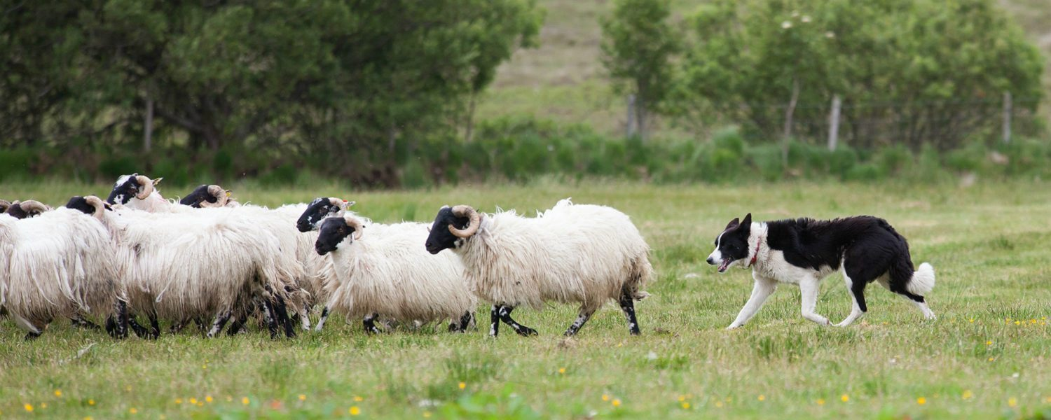 expertly trained sheepdogs as used by the extensive sheep farmers