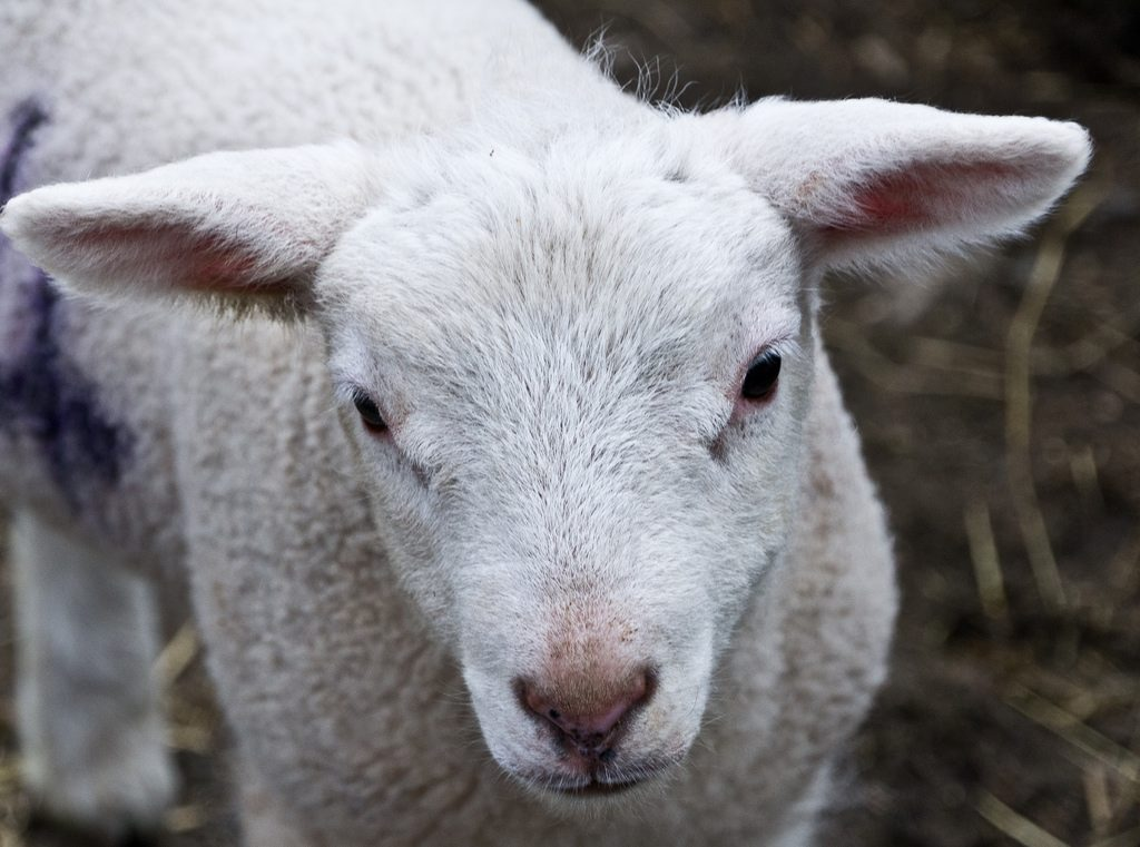 a newborn lamb in springtime
