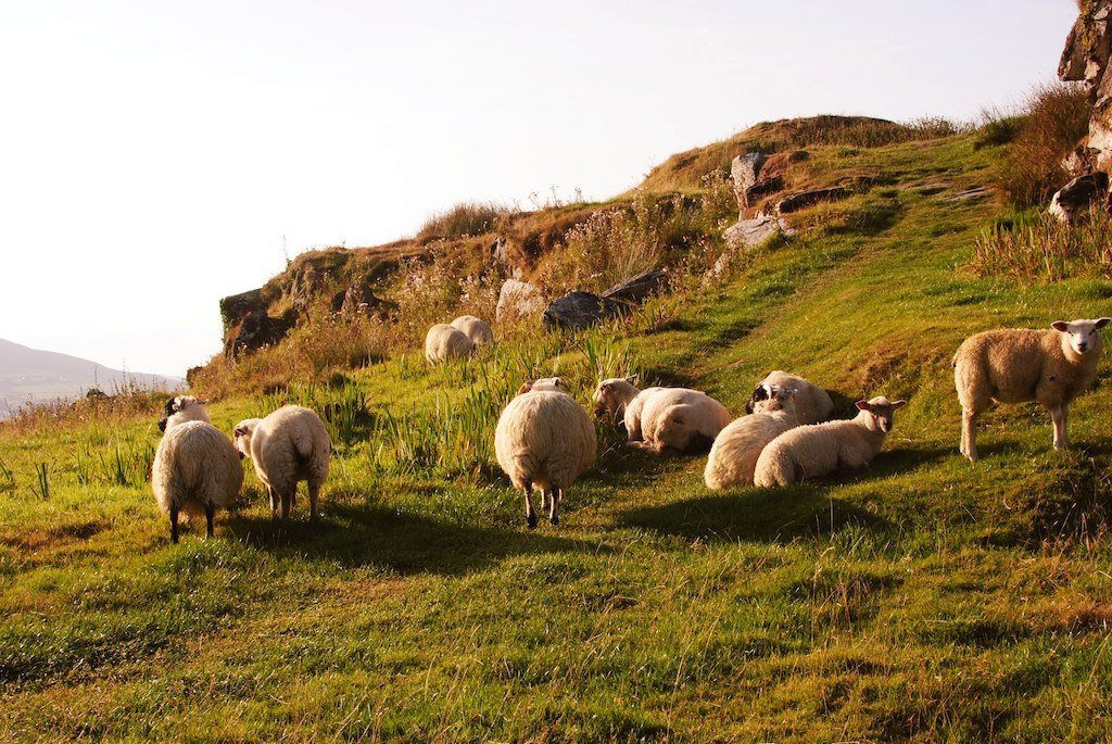 sheep are used on the hill land and rough grazing areas of Ireland
