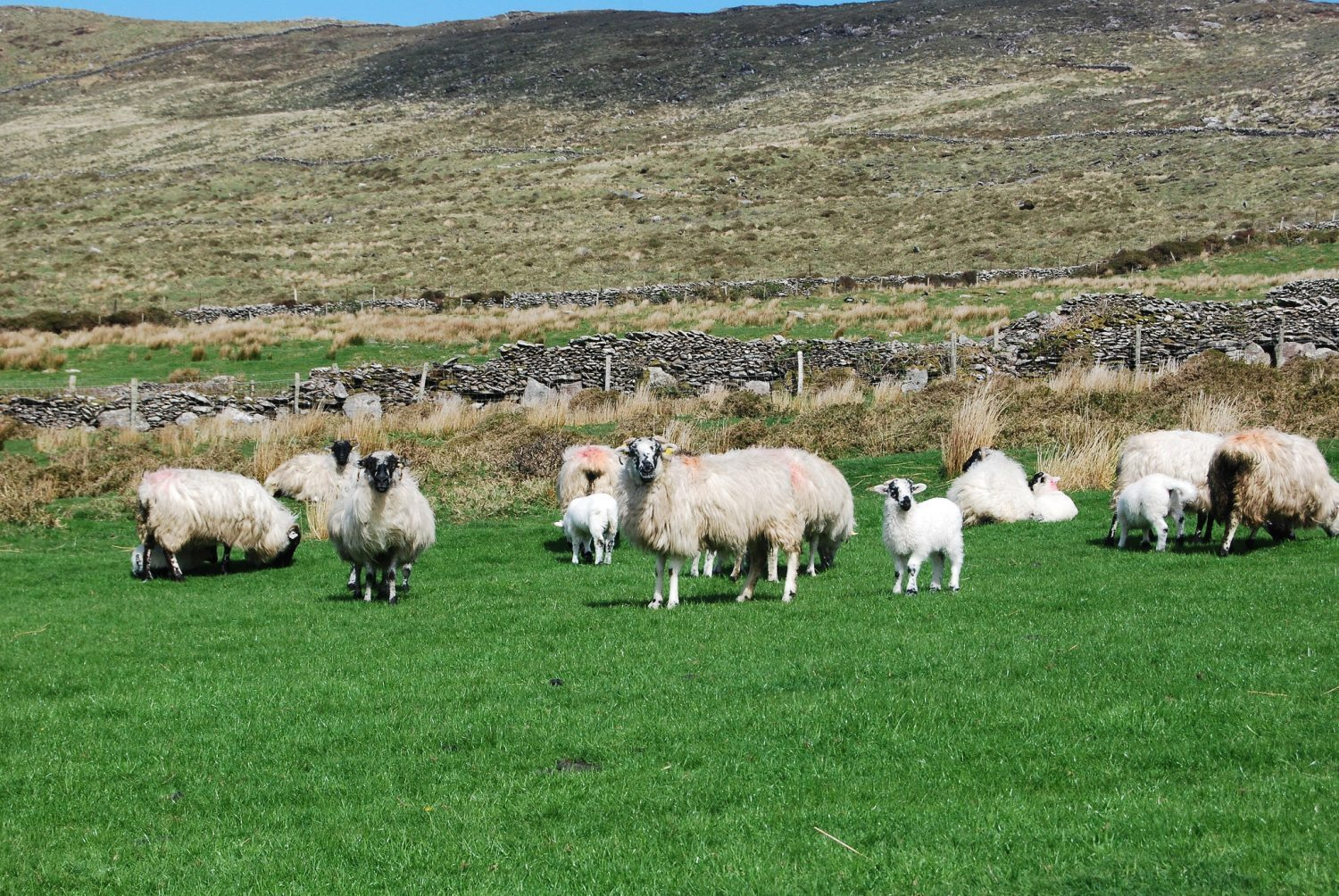 some sheep farms have mixed terrain of both Highland and Lowland.